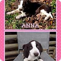 Adopt A Pet :: Anna in CT - Manchester, CT