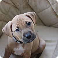 Adopt A Pet :: Comet - Ft. Myers, FL