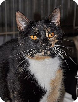 Domestic Shorthair Cat for adoption in Hopewell, Virginia - Bizet