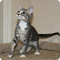 Domestic Shorthair Kitten for adoption in Edmond, Oklahoma - Fred