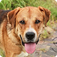 Bullmastiff/Labrador Retriever Mix Dog for adoption in Cincinnati, Ohio - Thor