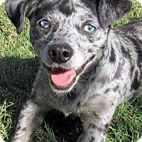 Adopt A Pet :: Dapple Dan - Lindsay, CA