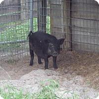 Pig (Farm) for adoption in West Palm Beach, Florida - A1844554