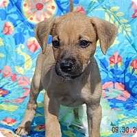 Boxer/Retriever (Unknown Type) Mix Puppy for adoption in Sussex, New Jersey - Takota (6 lb) Video!