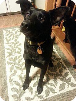 Labrador Retriever Mix Dog for adoption in Cleveland, Ohio - Jacob - Courtesy Listing