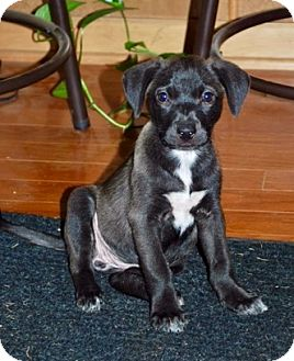 Labrador Retriever Mix Puppy for adoption in Portsmouth, New Hampshire - Rip-ADOPTION PENDING