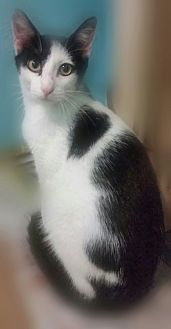 Domestic Shorthair Cat for adoption in Ocala, Florida - SIMON