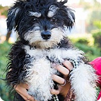 Poodle (Miniature)/Yorkie, Yorkshire Terrier Mix Puppy for adoption in San Diego, California - Pookie