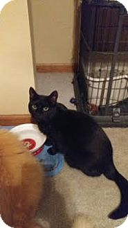 Domestic Shorthair Cat for adoption in Bolingbrook, Illinois - MIDNIGHT