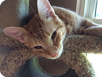 Domestic Shorthair Cat for adoption in Tampa, Florida - Tigger