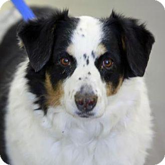 Collie/Anatolian Shepherd Mix Dog for adoption in Kettering, Ohio - Allis