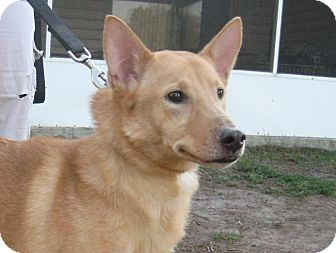 Shiba Inu/Sheltie, Shetland Sheepdog Mix Dog for adoption in Orange Park, Florida - Josie