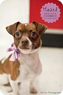 Chihuahua Mix Dog for adoption in Detroit, Michigan - Hazel-Adopted!