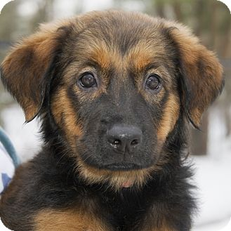 Labrador Retriever/Bernese Mountain Dog Mix Puppy for adoption in Brooklyn, New York - Vivacious Vixen