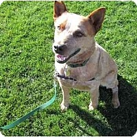 Adopt A Pet :: Chili ADOPTION PENDING - Phoenix, AZ