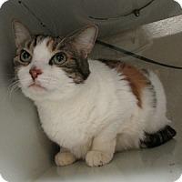 Adopt A Pet :: Chubby Bunny - Gilbert, AZ