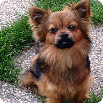 shih tzu pomeranian mix price rumi adopted dog 8591668 st paul mn pomeranian 5957