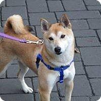 Adopt A Pet :: Haruki - Manassas, VA