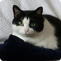 Domestic Shorthair Cat for adoption in Toronto, Ontario - Elle