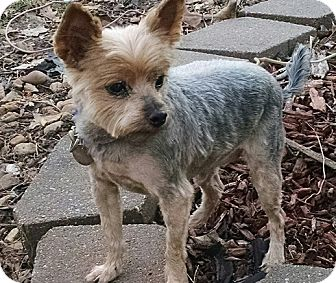 yorkie rescue missouri house springs mo yorkie yorkshire terrier mix meet 1911
