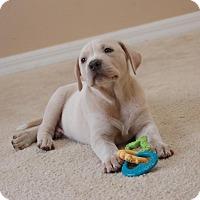 Adopt A Pet :: Ebony - Windermere, FL