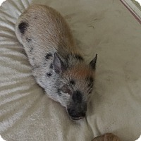 Pig (Potbellied) for adoption in House Springs, Missouri - Esther