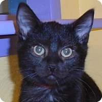 Adopt A Pet :: Kitten Twilight - Westminster, CO