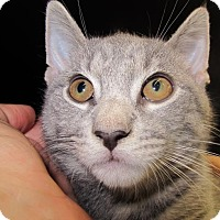 Adopt A Pet :: Marco The Magnificent, Cuddler Kitten - Brooklyn, NY