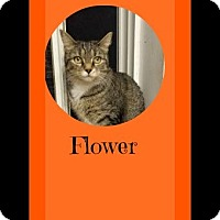 Adopt A Pet :: Flower-I'm at Petsmart! - Manchester, NH