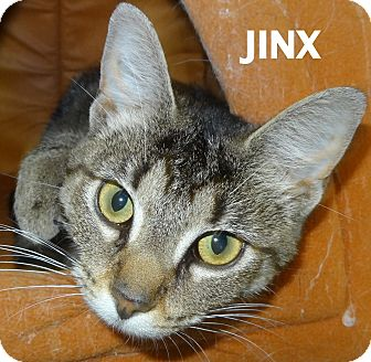 Domestic Shorthair Cat for adoption in Lapeer, Michigan - Jinx