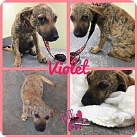 Hound (Unknown Type) Mix Dog for adoption in New York, New York - Violet