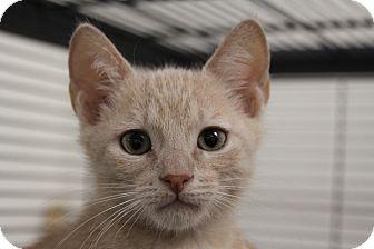 Domestic Shorthair Kitten for adoption in Sarasota, Florida - Teebo