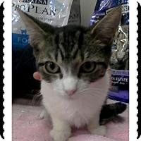 Adopt A Pet :: Macaroni - Trevose, PA