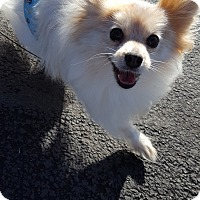 Pomeranian Dog for adoption in Vancouver, Washington - Mauja