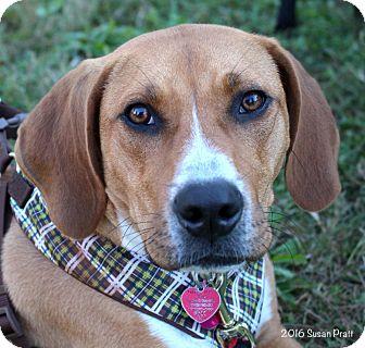 Boxer/Hound (Unknown Type) Mix Puppy for adoption in Bedford, Virginia - Rocky