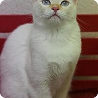 Siamese Cat for adoption in DFW Metroplex, Texas - Gracie