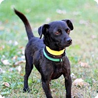 Jack Russell Terrier/Chihuahua Mix Dog for adoption in richmond, Virginia - PETER PAN-FOSTER NEEDED