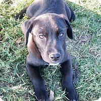 Labrador Retriever/German Shepherd Dog Mix Puppy for adoption in Trenton, New Jersey - Canoe - * ADOPTED *