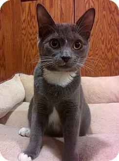 Domestic Shorthair Kitten for adoption in South Saint Paul, Minnesota - Penny