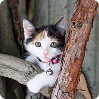 Adopt A Pet :: **Dorcas - Pittsburg, CA