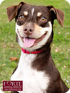 Dachshund/Australian Kelpie Mix Dog for adoption in Marina del Rey, California - Ruby