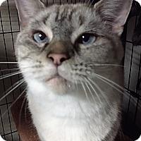 Adopt A Pet :: Ting Ting - Houston, TX