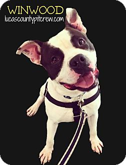 American Pit Bull Terrier/American Staffordshire Terrier Mix Dog for adoption in Toledo, Ohio - Winwood