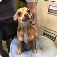Adopt A Pet :: TINKERBELL - Elk Grove, CA