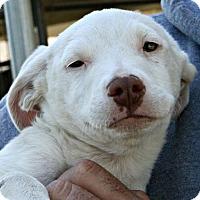 Adopt A Pet :: Snow - Sunnyvale, CA