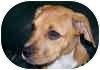 Boxer Mix Dog for adoption in Sunderland, Massachusetts - Sundae