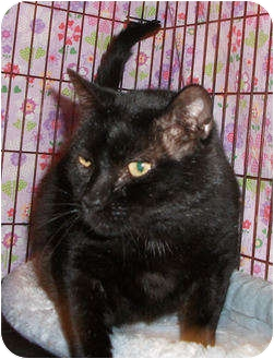 Domestic Shorthair Cat for adoption in Colmar, Pennsylvania - Mars