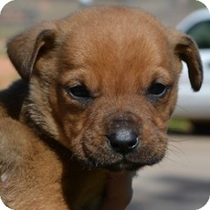 Terrier (Unknown Type, Medium)/Labrador Retriever Mix Puppy for adoption in Athens, Georgia - Zeb