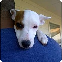 Adopt A Pet :: Perla in Houston - Houston, TX