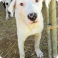 Adopt A Pet :: Bruiser - Reduced Fee $300 - Brattleboro, VT